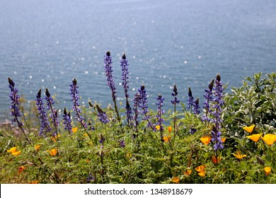 Lupine and wild poppies on the bank of a river or lake
