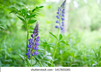 Lupine is a wildflower. Beautifully flowering glade - flower lupine. Herbaceous plant of the legume family with bright purple-red flowers. Grass leaves in the wild.