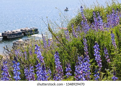 Lupine wildflowers cover a lakeside over a boat in the water
