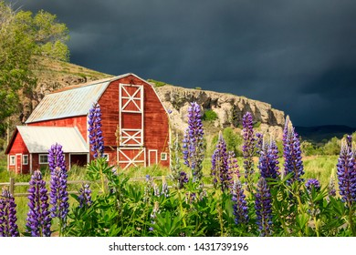 Lupine wildflowers and an old red barn in rural Utah, USA.