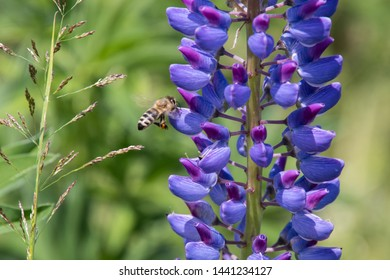 Lupines with bees on a high alpine meadow