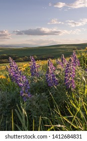 Lupines bloom at Dalles Mountain Ranch, Columbia Hills Historical State Park, Washington