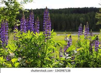 Lupines by a lake in summer.