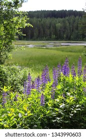 Lupines by a lake in Sweden.