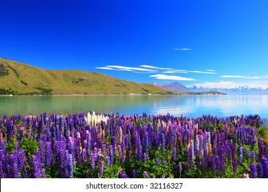 lupines by the lake Tekapo, New Zealand