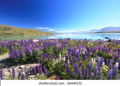 lupines field