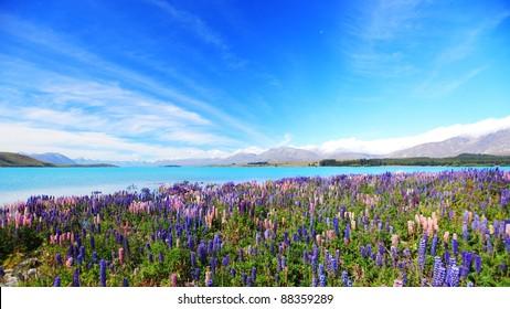 lupines field at lake Tekapo, New Zealand