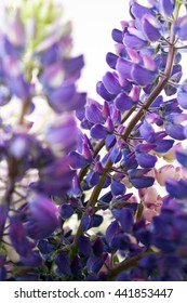 Lupines flowers isolated pattern