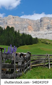 lupines flowers and Sasso della Croce on the background, Dolomites, Alta Badia, Italy.