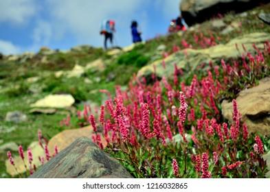 Lupines found in Sonamarg (Kashmir, India) along the trails of Kashmir great lakes trek. Commercially known as Sonamarg-Vishanar Naranag Trek, it is an alpine himalayan high-altitude trek in Kashmir.