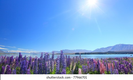 Lupines under sunshine by the Lake Tekapo, New Zealand