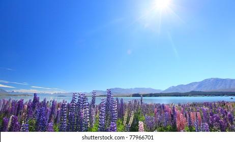 Lupines under sunshine by the Lake Tekapo, New Zealand