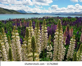 Lupines watching out over lake