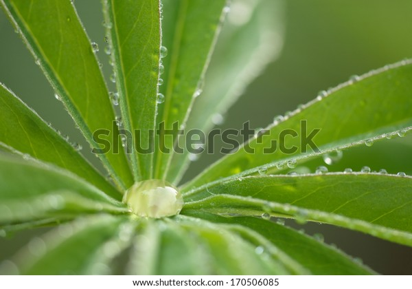Lupine,Tautropfen, Detail, Lupinus, Lupin, dew drops