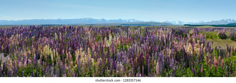 Lupins around Lake Tekapo