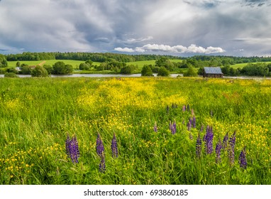 Lupins and buttercups in the meadow. Muranovo, Moscow region, Russia