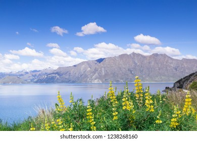 Lupins Flower on foreground of Lake Hawea in Wanaka, New Zealand un der the blue sky and cloud