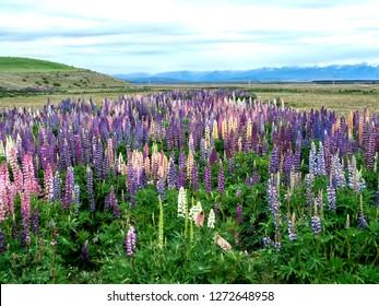 Lupins Flowers at Tekapo Lake, Canterbury, New Zealand, South Island, NZ