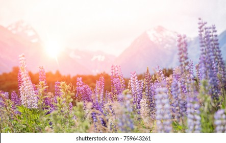 Lupins in New Zealand