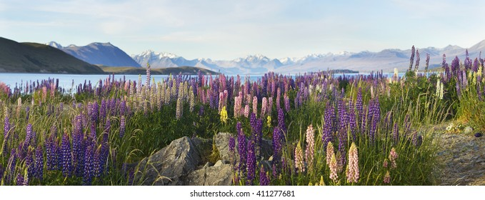 lupins on coast at lake pukaki and mount cook in spring time new zealand south island
