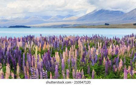 Lupins on the shore of Lake Tekapo, New Zealand