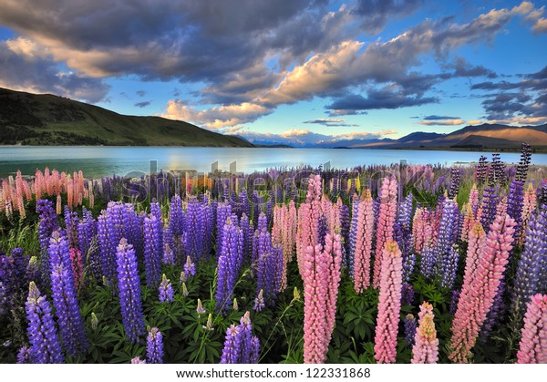 Lupins on the shore of Lake Tekapo, New Zealand