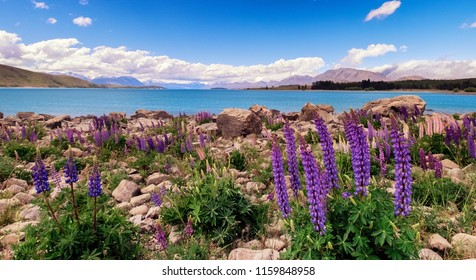 Lupins are very popular photogenic subjects in New Zealand. In this images, a group of Lupins have beautiful different colors. In the background is famous blue lake Tekapo and majestic mountains.