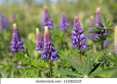 Lupinus, commonly known as lupin or lupine is in the meadow. Flower background.