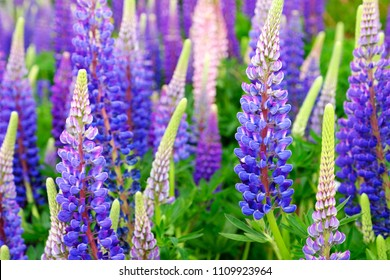 Lupinus field with pink purple and blue flowers. A field of lupines. Violet and pink lupin in meadow. Purple and pink lupin bunch