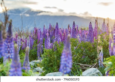 Lupinus Field, South Island, New Zealand