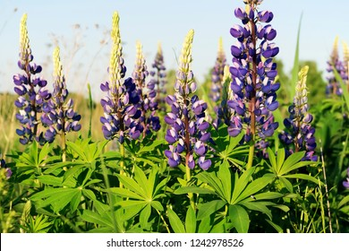 Lupinus (lupin or lupine) against a blue sky. Summer meadow in bloom