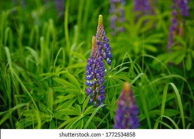 Lupinus, lupin, lupine field with blue flowers. Bunch of lupines summer flower background. Blooming lupine flowers. A field of lupines. Violet spring and summer flowers. nature concept