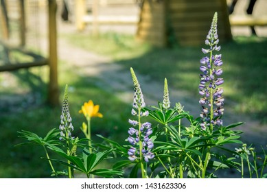 Lupinus, lupin, lupine field with pink purple and blue flowers. Bunch of lupines summer flower background.