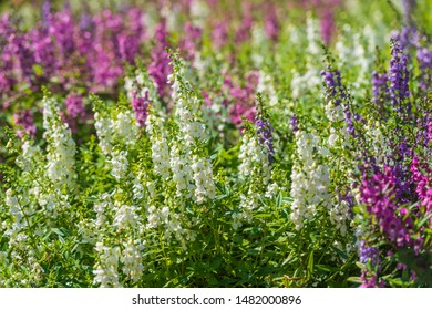 Lupinus, lupin, lupine field with pink purple white and blue flowers. Bunch of lupines summer flower background