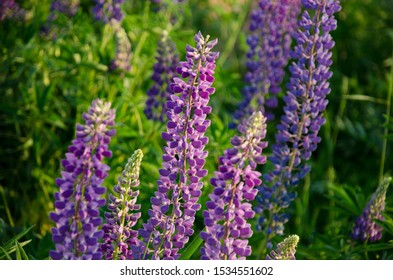Lupinus, lupin, lupine field with pink purple and blue flowers. Bunch of lupines
