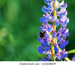 Lupinus perennis in sunset light on a green meadow background, macro. Bumblebee pollinating flowers. Wild perennial lupine, sundial or blue lupine, Indian beet.  Medicinal plant, Fabaceae family