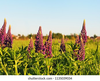 Lupinus perennis in sunset light on a green meadow background and blue sky. Wild perennial lupine, sundial or blue lupine, Indian beet.  Medicinal plant, Fabaceae family