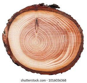Lurch tree trunk cross cut wood texture with a narrow light sapwood and a reddish-brown core, solid, resilient, strong, resinous, extremely resistant to decay isolated on white.