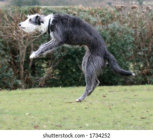 Lurcher bitch leaping into the air to catch a ball (which she has taken right into her mouth)