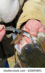 Lure in trout's mouth, being held by an angler