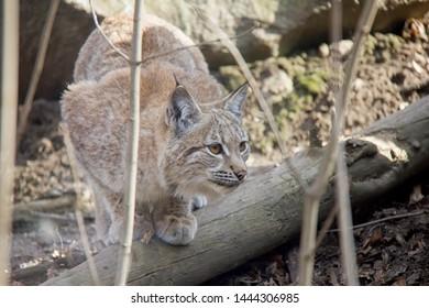 Lurking lynx cub. Lynx Lynx.