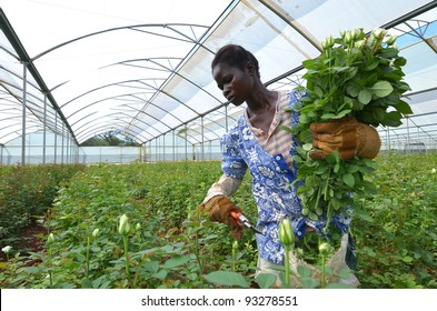 LUSAKA, ZAMBIA - DECEMBER 2: African women in the greenhouses select  roses for export to Europe, which provide employment to 800 farmers, on December 2,2011 in Lusaka Zambia