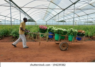 LUSAKA,ZAMBIA - DECEMBER 2: African men in the greenhouses select roses for export to Europe, which provide employment to 800 farmers, on December 2,in Lusaka, Zambia