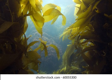luscious green kelp forest underwater at casino point, catalina island, california, usa. vibrant exotic ocean reef setting