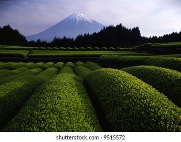 Luscious green tea fields at the foot of Mt. Fuji