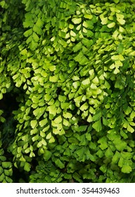 Lush Adiantum capillus-veneris, black maidenhair fern, maidenhair fern,or venus hair fern, shot from above and dark tone