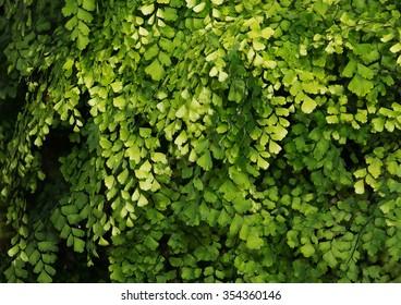 Lush Adiantum capillus-veneris, also known as Southern maidenhair fern, black maidenhair fern, maidenhair fern,or venus hair fern, shot from above and dark tone