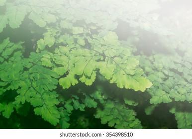 Lush Adiantum capillus-veneris, also known as Southern maidenhair fern, black maidenhair fern, maidenhair fern,or venus hair fern, on sweet tone