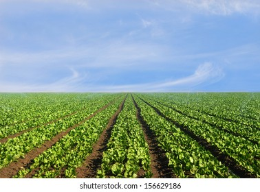 Lush agricultural field of lettuce on a bright sunny day