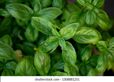 lush basil herb foliage